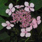 Gartenimpressionen - Bild einer Gesägten Hortensie (Hydrangea serrata)