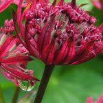 Gartenimpressionen - Bild einen Großen Sterndolde (Astrantia major)