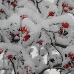 Gartenimpressionen - Bild von Hagebutten im Schnee