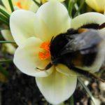 Gartenimpressionen - Bild einer Hummel in Krokus