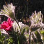 Gartenimpressionen - Bild einer Kuhschelle (Pulsatilla vulgaris)