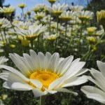 Gartenimpressionen - Bild einer Margaritenwiese