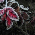 Gartenimpressionen - Bild eines Rosenblattes im Raureif
