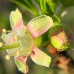 Gartenimpressionen - Bild einer Stachelbeerblüte