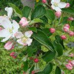 Gartenimpressionen - Apfelblüte