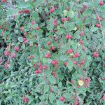 Gartenimpressionen - Zierapfel