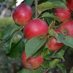 Gartenimpressionen - Apfelbaum
