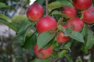 Schnitt von Obstbäumen