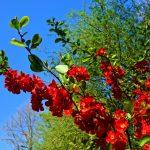 Gartenimpressionen - Zierquittenzweig in Vollblüte